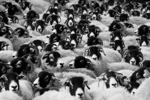 Mistake Sheep Crowd