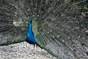 habit-peacock