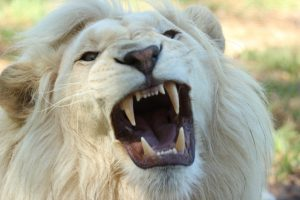 Activity Lion