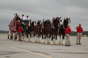activity Clydesdales Bud